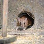 mouse pest 500