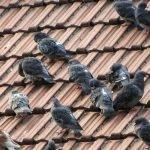 pigeons 500