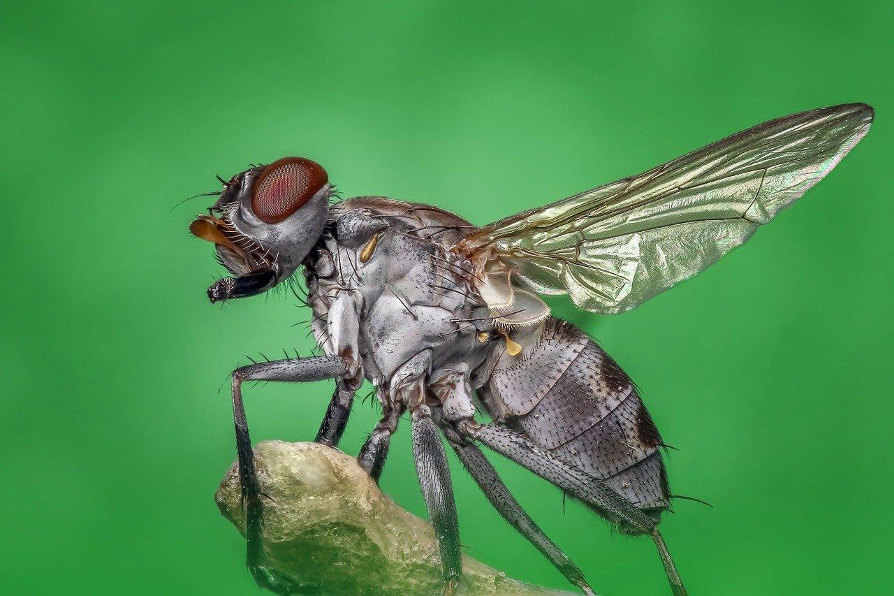 housefly black fly